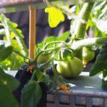 Gemüse und Obst auf dem Balkon